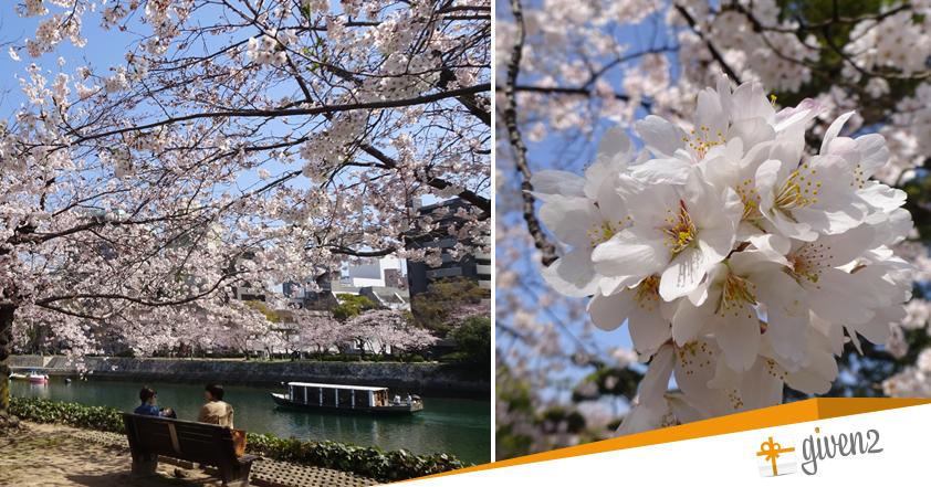 viaggio di nozze giappone Sakura